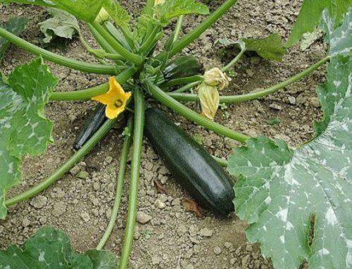 Courgettes dans le jardin