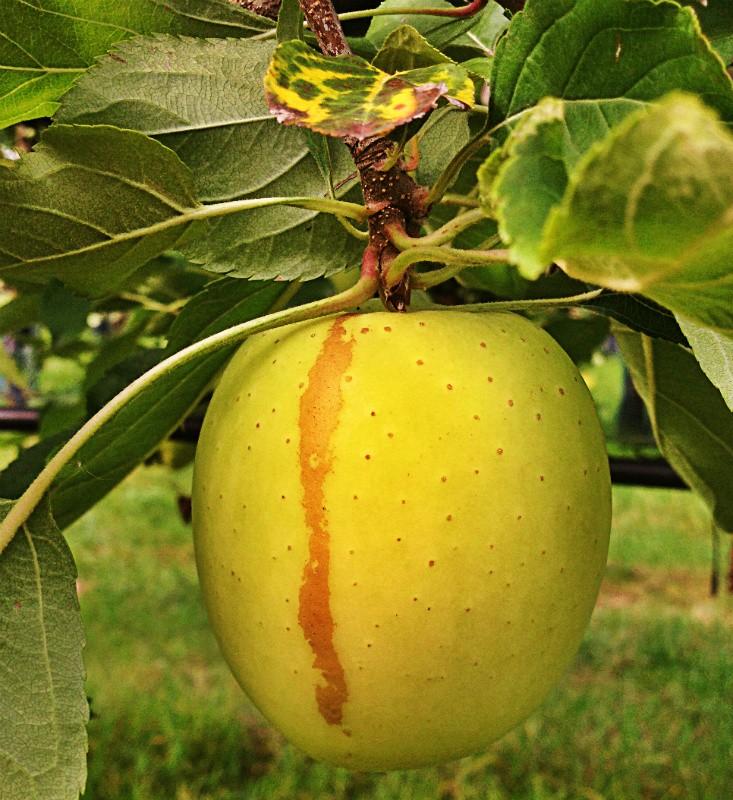 roussisure sur une pomme Tentation
